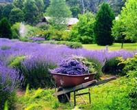 Yorkshire Lavender & Harrogate